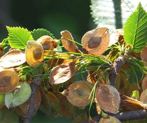 Baum des Jahres 2019_Flatter-Ulme (Ulmus laevis)_gartenzauner