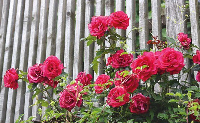 Rosepflege, gartenzauner, Gartenpflege, Gartenraum blog, Oberösterreich, Bayern, Passau