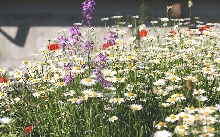 Blumenwiesen - GartenZauner