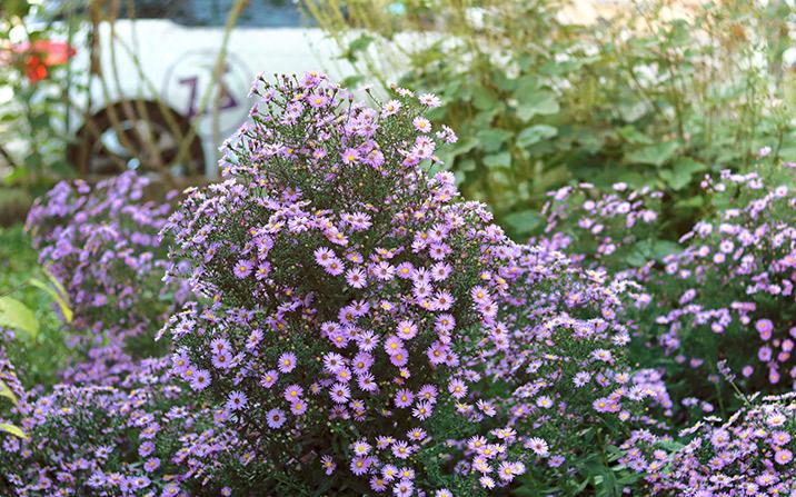 Asternblüte - GartenZauner