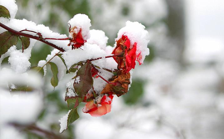 Kletterrose beim ersten Schneefall